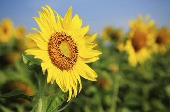 Sonnenblume als Allergieauslöser? Blumen sind oft Grund einer Allergie